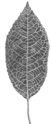 лист черешни фото