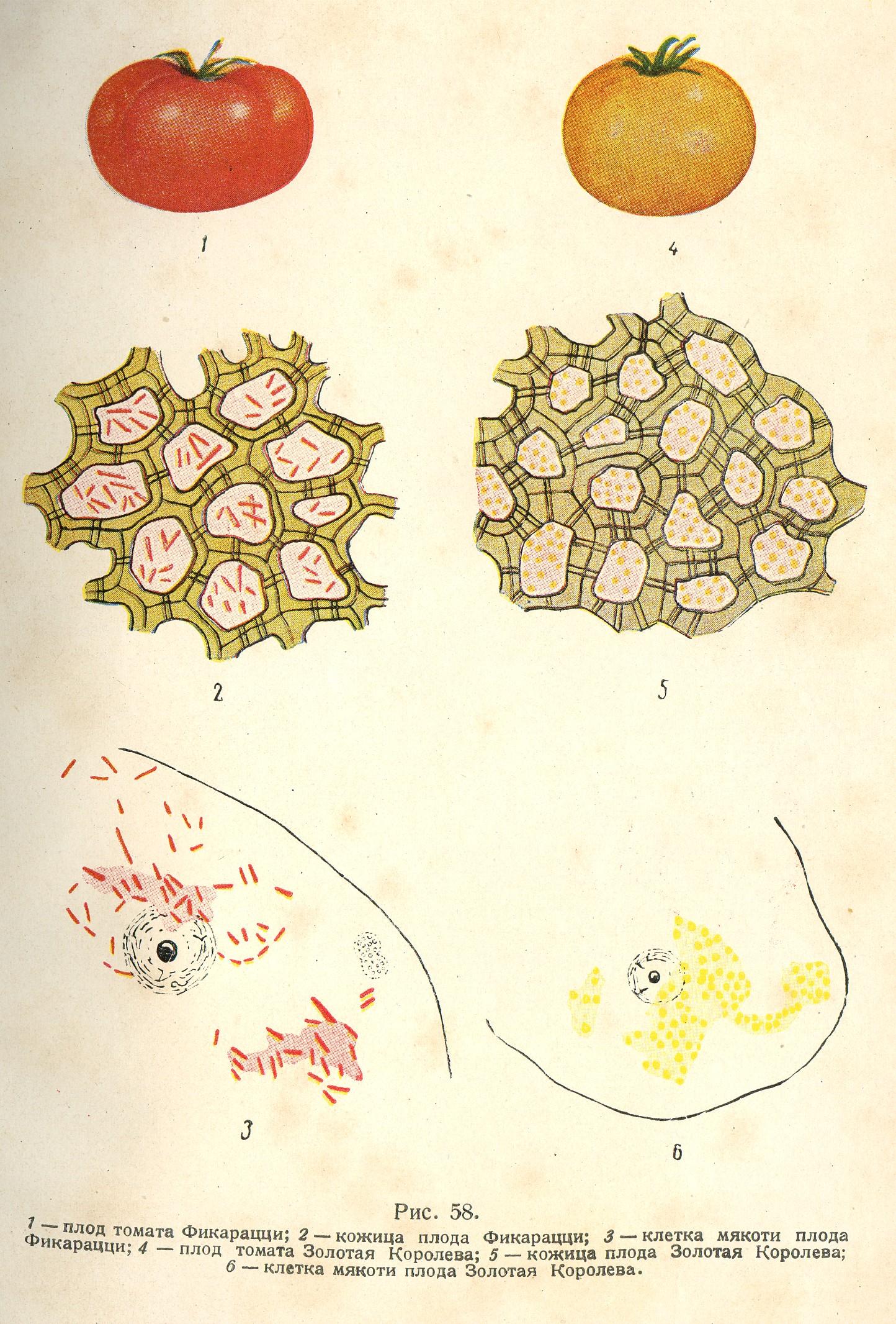 рисунок под мякоть томата микроскопом