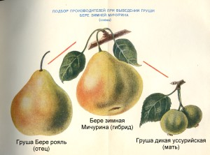 Подбор производителей при выведении груши Бере зимней Мичурина (схема)