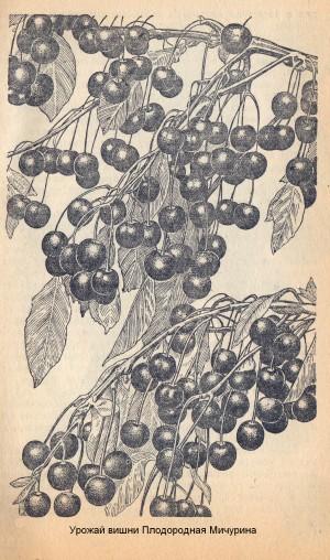 Урожай вишни Плодородная Мичурина