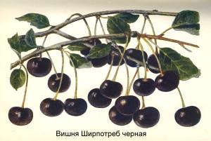 Вишня Ширпотреб черная
