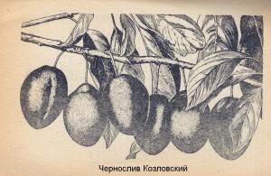 Чернослив Козловский