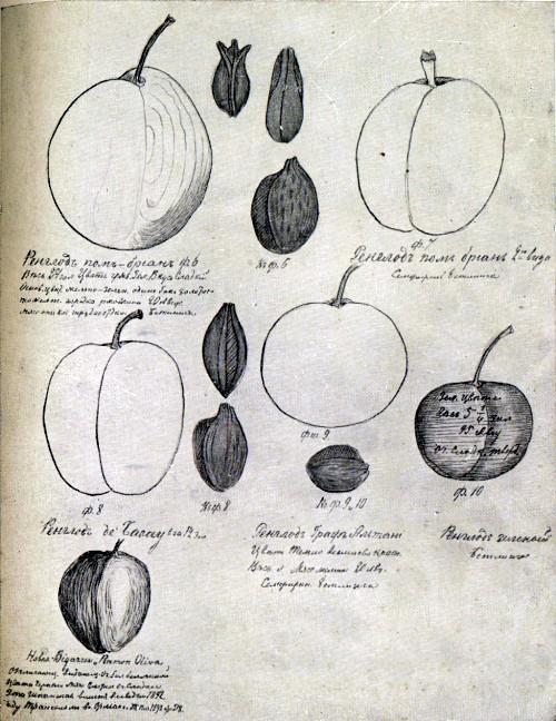Страница из дневника И. В. Мичурина с зарисовками плодов сливы. Относится к девятисотым годам.