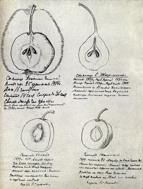 Страница с зарисовками плодов из дневника И. В. Мичурина. Относится к периоду 1899—1904 гг.