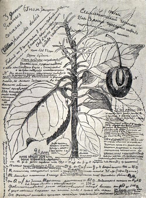 Страница из дневника И. В. Мичурина с записями и зарисовками, касающимися вишне-черешневых гибридов. Относится к периоду 1920—1922 гг.