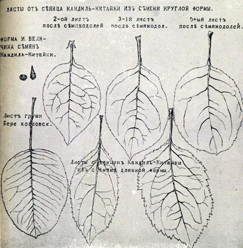 Страница из дневника И. В. Мичурина с изображением листьев сеянцев из разных семян Кандиль-китайки.