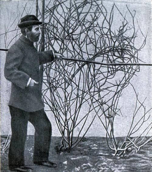 И. В. Мичурин у выращенных им растений актинидии.