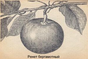 Ренет бергамотный